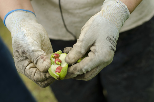 Naturally-farmed peas at Etsko Kagamiyama's farm in Itoshima, Japan (Photo: P.M. Lydon | Final Straw)