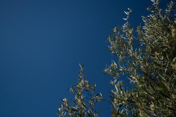 North Yuba Olive Tree
